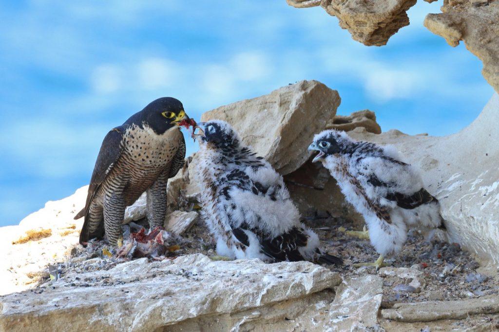 """Aquecimento global está fazendo filhotes de falcão """"cometerem suicídio"""""""